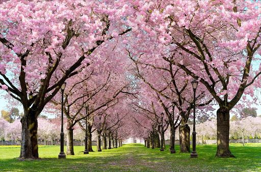 Spring Cherry Blossom Live Wallpaper FREE 1.05 screenshots 1