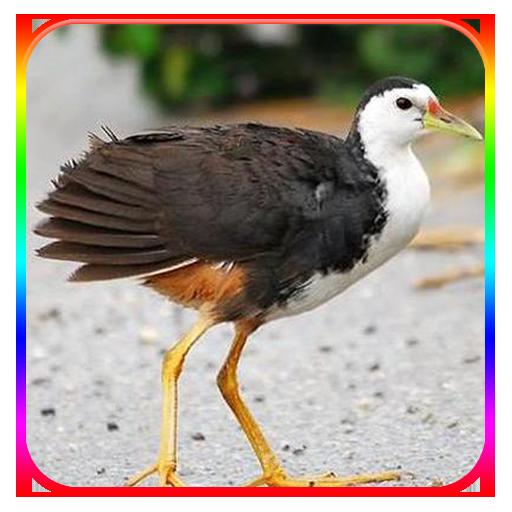 Suara Pemanggil Burung Ruak Ruak Pikat Kareo Padi Apps Bei Google Play