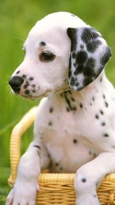 子犬 ライブ壁紙 – 可愛い子犬のおすすめ画像1
