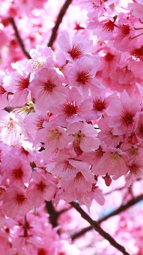 Sakura Live Wallpaper modavailable screenshots 3