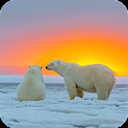 Polar Bear Wallpaper Best HD