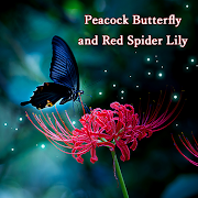 Wallpaper Peacock Butterfly and Red Spider Lily