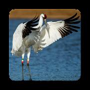 Crane Bird Sound Collections ~ Sclip.app