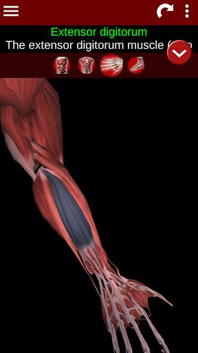 Muscular System 3D (anatomy) 2.0.8 Screenshots 3