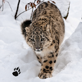 Snow Leopard Chase Simulator APK