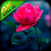Flower Wallpapers HD - Roses Wallpaper HD