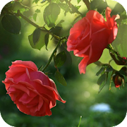 Red Rose Flower Live Wallpaper