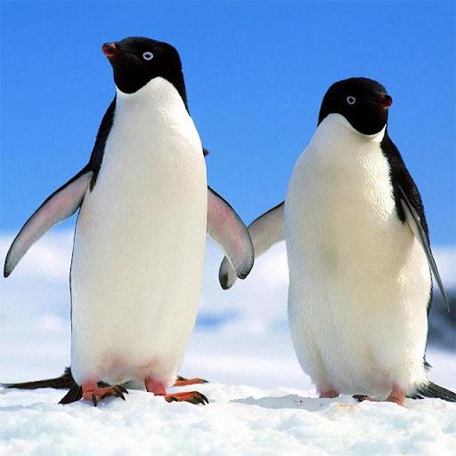 Penguins Jigsaw Puzzles apkdebit screenshots 3