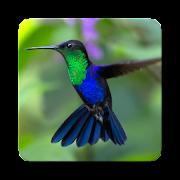 Hummingbird Sound Collections ~ Sclip.app