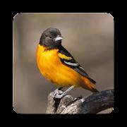 Oriole Bird Sound Collections ~ Sclip.app