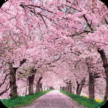 Cherry Blossom Wallpaper Best 4K Download on Windows