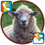 Sheep - RINGTONES and WALLPAPERS