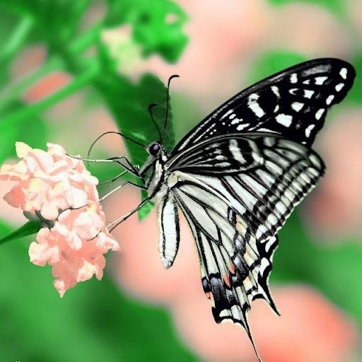 Butterflies Jigsaw Puzzles screenshots 5
