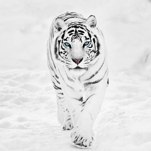White Tiger Wallpaper Hd Google Play Review Aso Revenue Downloads Appfollow