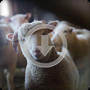 Sheep Sounds Ringtone